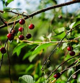 Kirsebærsaft fra Gikisa